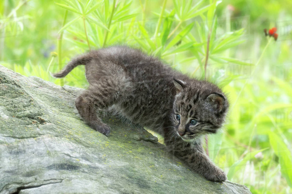 USA, Minnesota, Sandstone, Minnesota Wildlife Connection. Bobcat kitten on top of log in spring grasses with wildflowers. Rights-managed stock photo