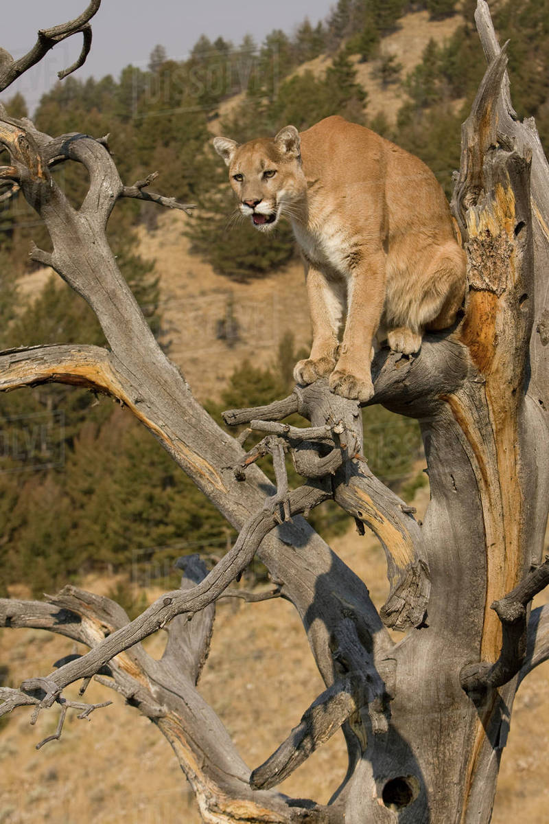 Mountain Lion, aka puma, cougar; Puma concolor, Captive wildlife model, in tree near Yellowstone National Park. Rights-managed stock photo