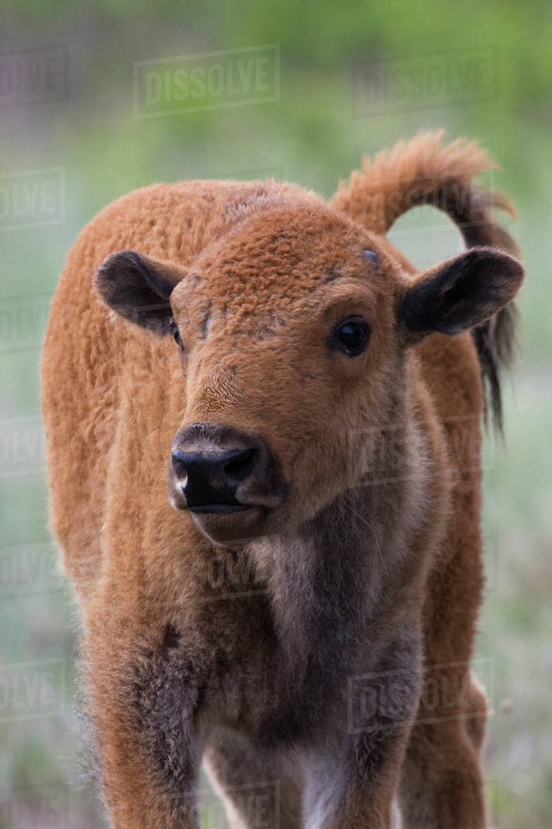 Bison Calf, Yellowstone National Park Rights-managed stock photo