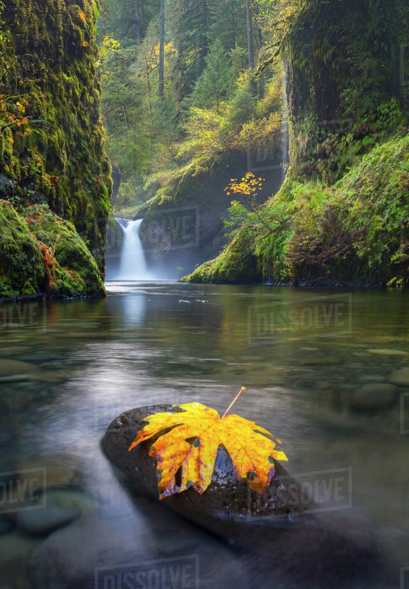 USA, Oregon, A bigleaf maple leaf (Acer macrophyllum) rest on a rock in Eagle Creek at Punchbowl Falls, Columbia Gorge, Oregon. Rights-managed stock photo