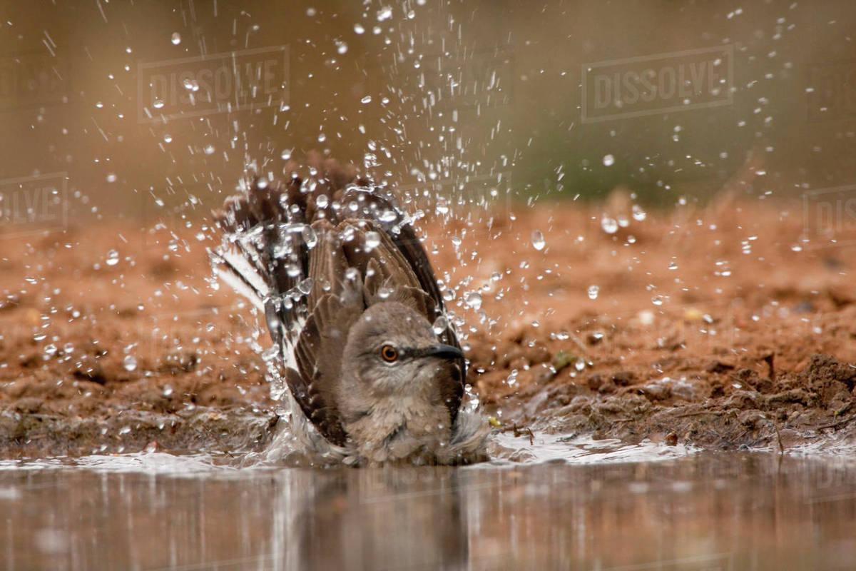 Santa Clara Ranch, Rio Grande Valley, McCook, Texas, Noreth America, USA. Bathing Northern Mockingbird, Mimus polyglottos. Rights-managed stock photo