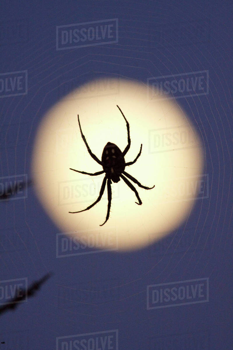 Orb spider on web with full moon, in south Texas brush, USA Rights-managed stock photo
