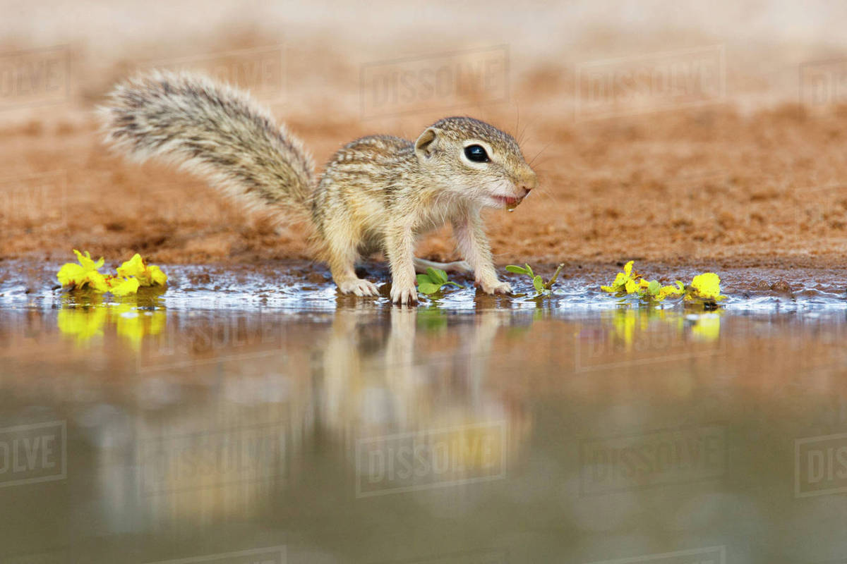 Mexican Ground Squirrel (Spermophilus mexicanus) juveniles chasing/playing. Rights-managed stock photo