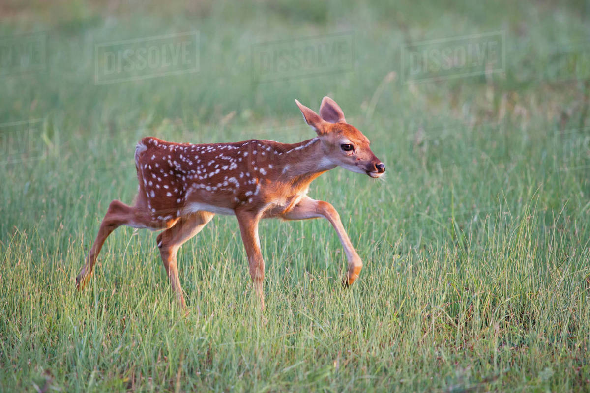 White-tailed Deer (Odocoileus virginianus) fawn, Texas, USA. Rights-managed stock photo
