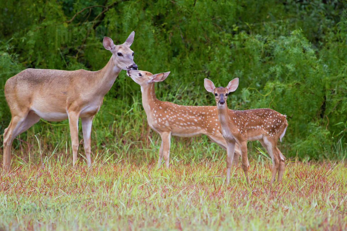 White-tailed Deer (Odocoileus virginianus) young with mother, Texas, USA. Rights-managed stock photo