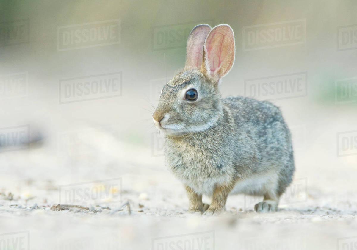 Texas, Rio Grande Valley, Desert Cottontail Rabbit (Sylvilagus audubonii) Rights-managed stock photo