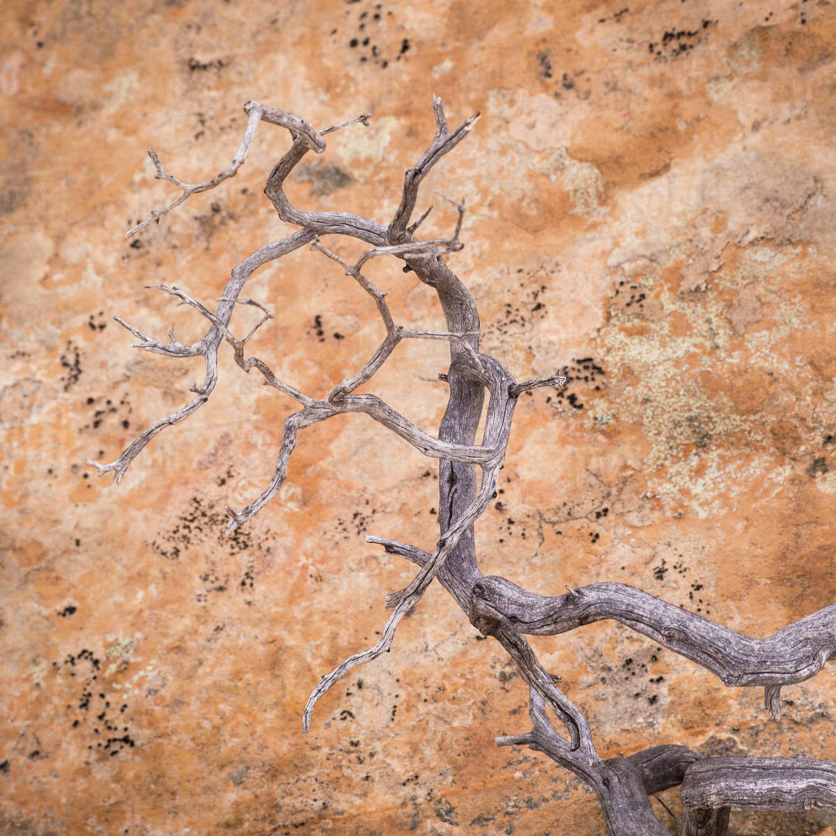 USA, Utah, Dixie National Forest. Twisted dead branch and sandstone rock wall. Rights-managed stock photo