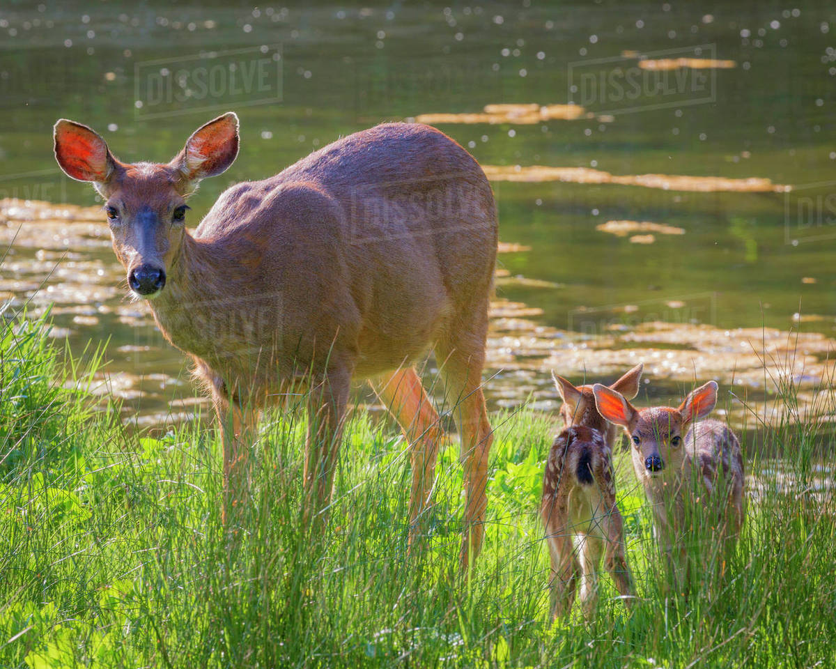 USA, Washington State, Seabeck. Blacktail deer with twin fawns. Rights-managed stock photo
