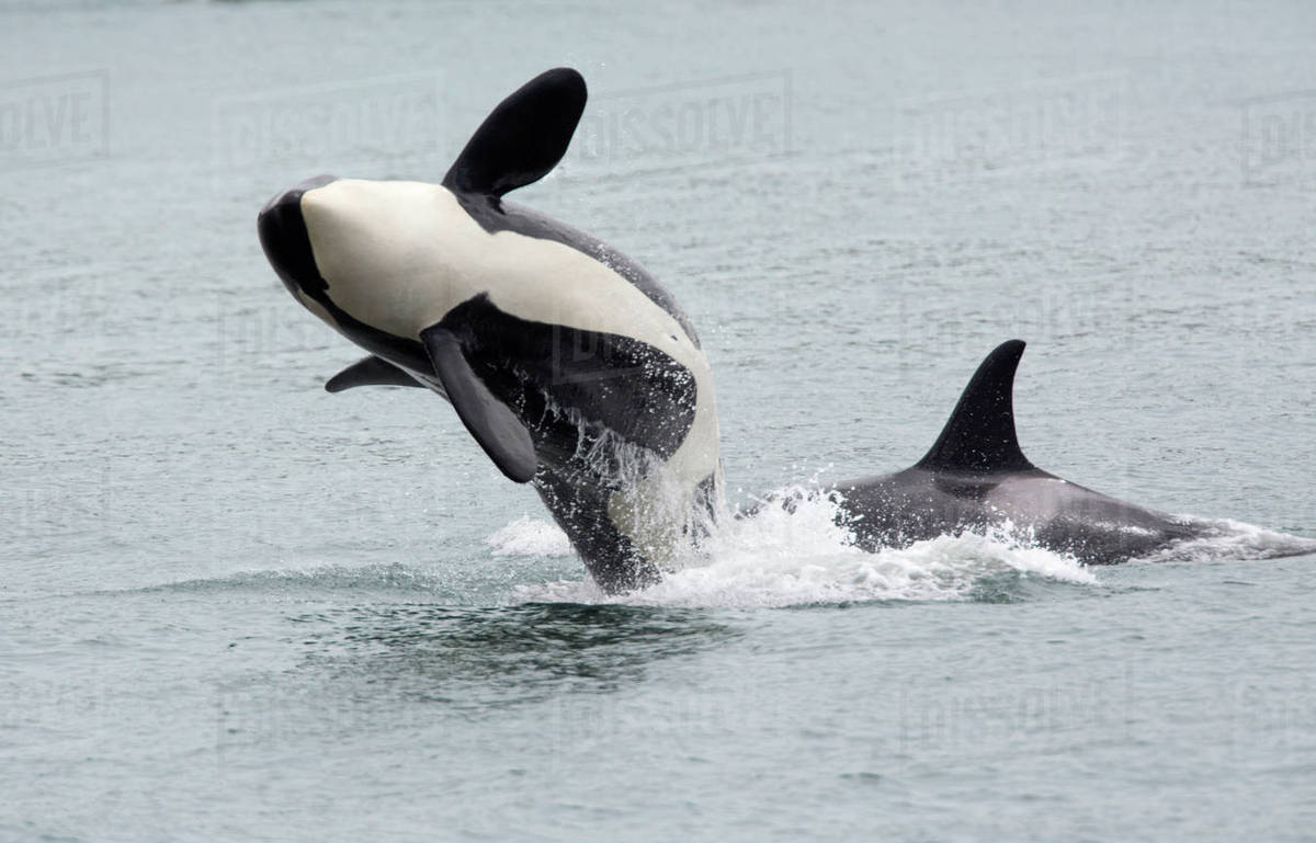 North America, USA, Washington, San Juan Islands. Two killer whales or orcas, Orcinus orca. Rights-managed stock photo