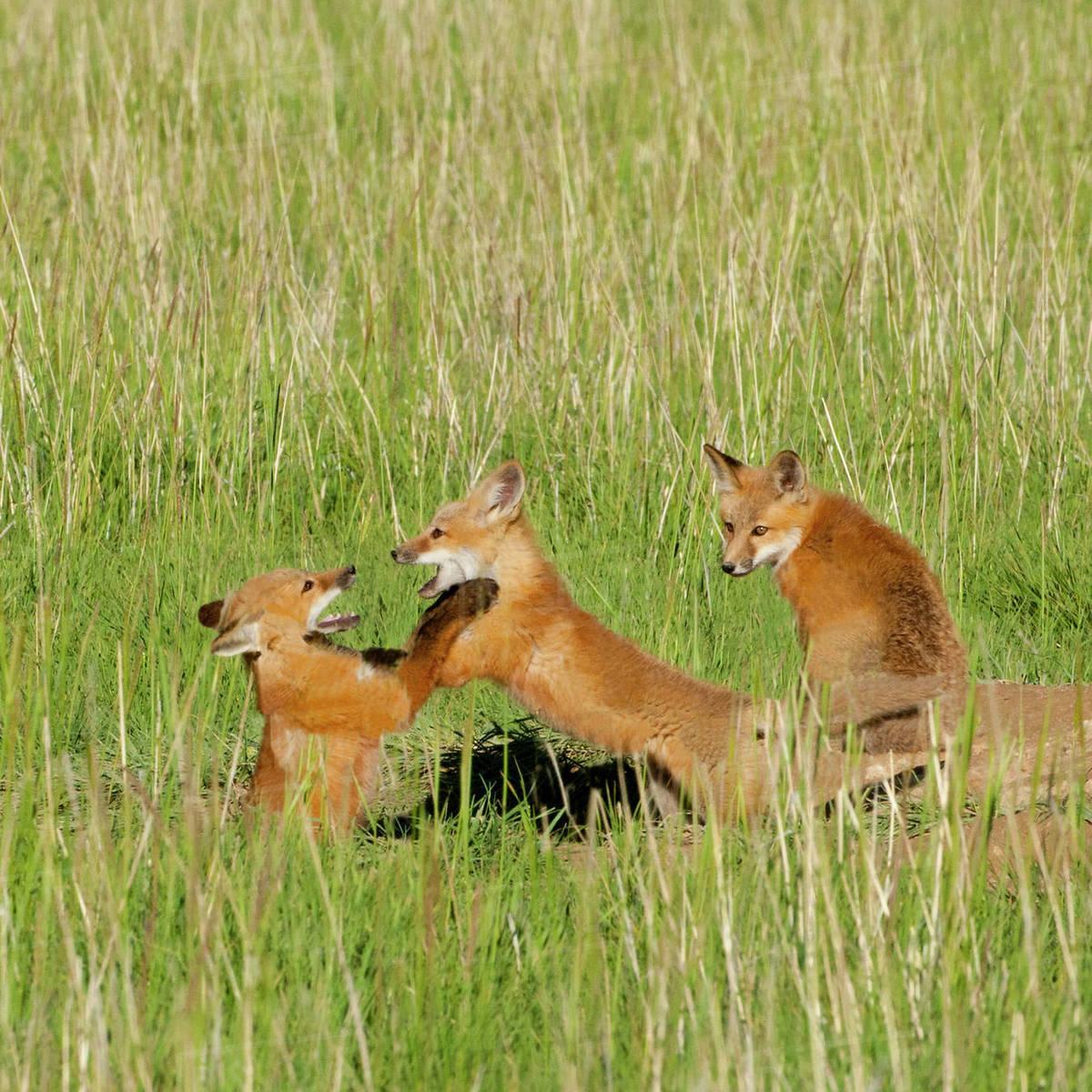 Red Fox (Vulpes Fulva) Kits playing at den near Saratoga, Wyoming Rights-managed stock photo