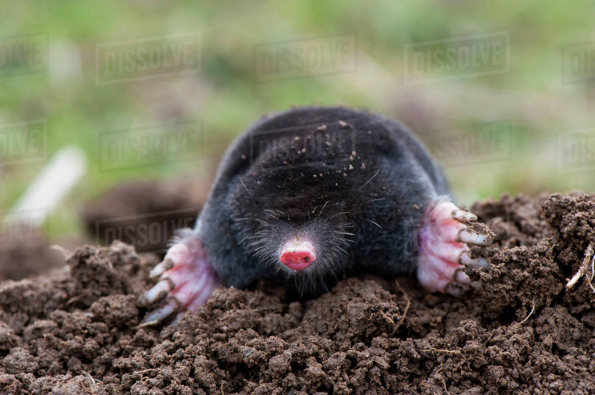 Common mole (Talpa europaea) above ground, showing strong front feet used for digging runs underground; United Kingdom
